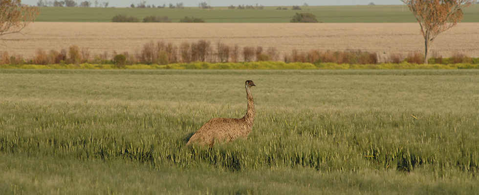 Emu-in-wheat-field